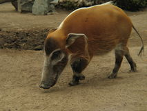 California Wild Pig Royalty Free Stock Images