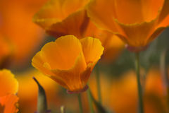 California Wild Poppies. In Spring royalty free stock photography