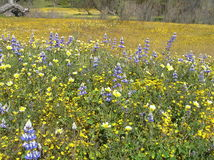 California Wildflowers. Photo taken near Highways 58 and 46 during the spring Royalty Free Stock Photography