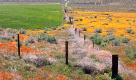 California Wildflowers and Poppies Stock Images