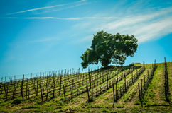 California Wine Country. The rolling hills of Central California coastal wine country vineyards Royalty Free Stock Images