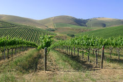 California wine grapes. Rows and rows of grapes ( vineyard) with rolling mountians behind Stock Images
