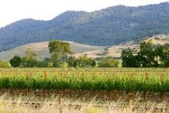 California Wineries. Napa vineyard , California at sunset stock images