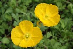 California Yellow Poppy at Ferrari Carano Winery royalty free stock photography