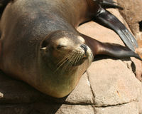 california zamkniętego lwa denny śpiący up obrazy stock