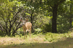 Californian Black-tailed deer Stock Image