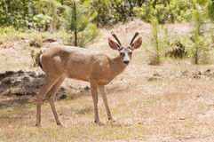 Californian Black-tailed deer Stock Photos
