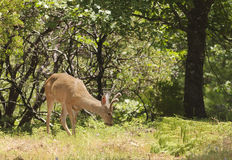 Californian Black-tailed deer Royalty Free Stock Photos
