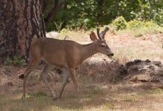 Californian Black-tailed deer Royalty Free Stock Image