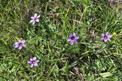 Californian blue-eyed grass Stock Image