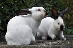 Californian breed of rabbits. Female rabbit of the Californian breed on a blurred green background Stock Image