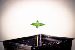 Californian Cannabis Seedling, I Give Thanks For New Life. Indoor Grow California Cannabis Plant Royalty Free Stock Image