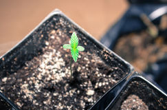Californian Cannabis Seedling, I Give Thanks For New Life. Indoor Grow California Cannabis Plant royalty free stock photo