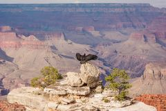 USA - Condor and the Grand Canyon royalty free stock images