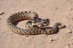 Californian desert glossy snake, mohave desert, california Stock Photography