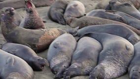 Californian elephant seal colony panorama