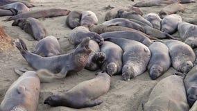 Californian elephant seal colony