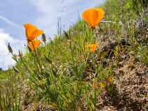 Californian Golden Poppies. The bright orange flowers of California Poppies Stock Photography