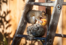 Californian ground squirrel feasting on a peach. Garden in the San Francisco Bay Area, USA Stock Images
