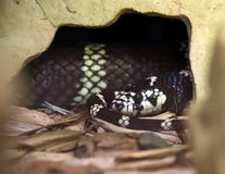 Californian King Snake Stock Photo