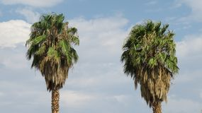 2 Californian palm trees. Californian palm trees on a blue sky royalty free stock image