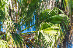 Californian palm trees. Close up of Californian palm trees Stock Photo