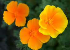 Californian poppies. In garden in the sunny day royalty free stock photo