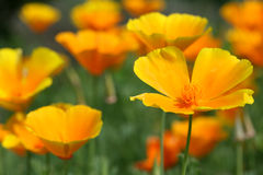 Californian poppies in the garden stock images