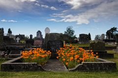 Californian poppies on a grave royalty free stock image