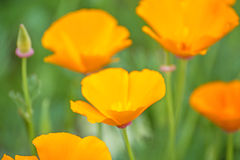 Californian poppies Stock Photo