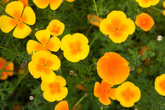 Californian Poppies Stock Images
