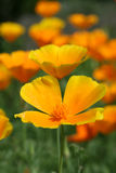 Californian poppy. Californian poppies in the summertime stock photography