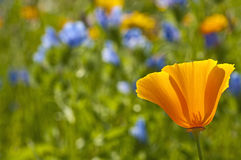 Californian poppy Stock Photos