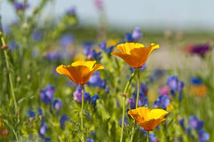 Californian poppy. In a colorful meadow Stock Image