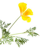Californian poppy. Eschscholzia Californica, isolated on white royalty free stock photography