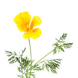 Californian poppy Royalty Free Stock Photo