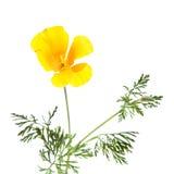 Californian poppy. Eschscholzia Californica, isolated on white royalty free stock photo