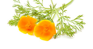 Californian poppy Stock Images