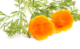 Californian poppy Stock Photo