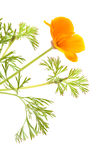 Californian poppy Royalty Free Stock Photos