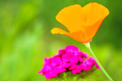 Californian poppy Royalty Free Stock Image