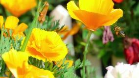 Californian poppy (Eschscholzia californica) Royalty Free Stock Image