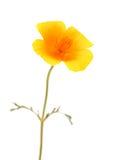 Californian poppy Royalty Free Stock Photos