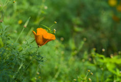 Californian poppy lost in a garden Stock Photos
