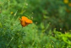 Californian poppy lost in a garden Stock Photos