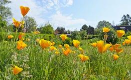 Californian poppy Royalty Free Stock Photography