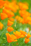 Californian poppy Royalty Free Stock Images