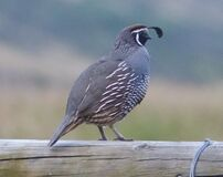 Free Californian Quail On Guard In New Zealand Countryside Stock Photo - 170067080