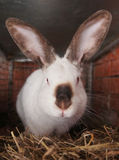 Californian rabbit breeds Royalty Free Stock Images