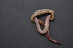 Californian red earthworm Stock Images